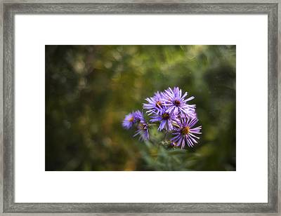 New England Asters Framed Print by Scott Norris