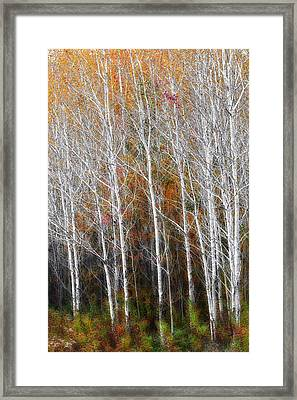 New England Autumn Birches Framed Print by Bill Wakeley