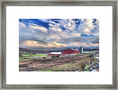 New Preston Cows Framed Print by Andrea Galiffi