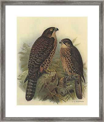 New Zealand Falcon Framed Print by J G Keulemans