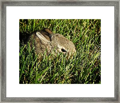 The Baby Cottontail Framed Print by Mary Lee Dereske
