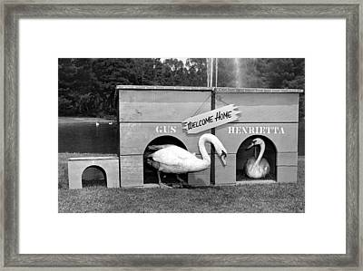 Newly Wed Swans At Home Framed Print by Underwood Archives