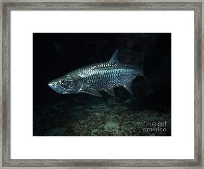 Night Tarpon Framed Print by Carey Chen