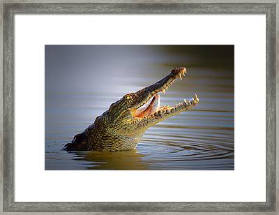 Nile Crocodile Swollowing Fish Framed Print by Johan Swanepoel
