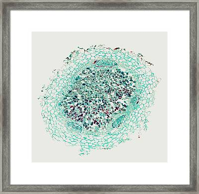 Nitrogen-fixing Root Nodule, Micrograph Framed Print by Power And Syred
