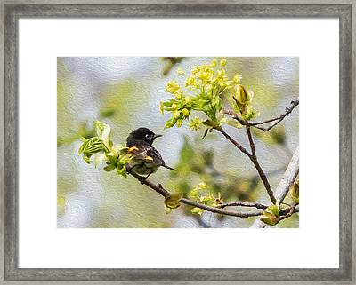American Redstart 1 Of 3 Framed Print by Patti Deters