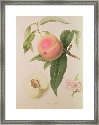 Noblesse Peach Framed Print by William Hooker