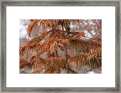 Norfolk Island Pine (a. Heterophylla) Framed Print by Dr. Nick Kurzenko