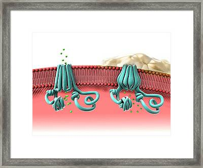 Normal And Abnormal Cftr Proteins Framed Print by Gunilla Elam