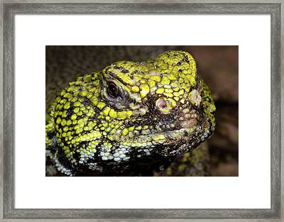 North African Spiny-tailed Lizard Framed Print by Nigel Downer