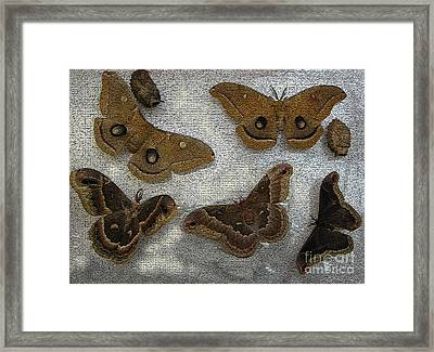 North American Large Moth Collection Framed Print by Conni Schaftenaar