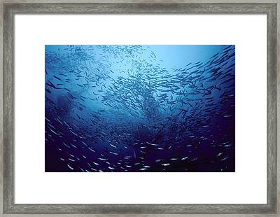 Northern Anchovies San Clemente Framed Print by Flip Nicklin