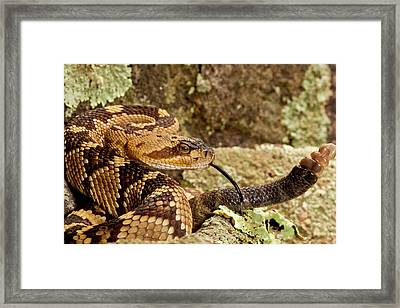 Northern Black-tailed Rattlesnake Framed Print by David Northcott