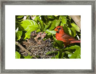 Northern Cardinal Father And Chicks Framed Print by Tom Vezo