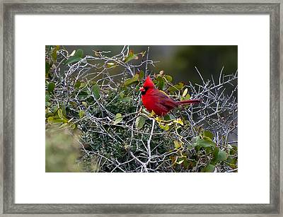 Northern Cardinal Framed Print by Rich Leighton