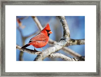 Northern Cardinal Scarlet Blaze Framed Print by Christina Rollo