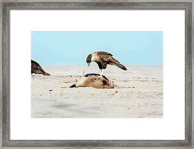 Northern Crested Caracara On A Carcass Framed Print by Christopher Swann