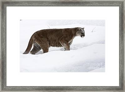Northern Depths Cougar In The Winter Snow Framed Print by Inspired Nature Photography Fine Art Photography