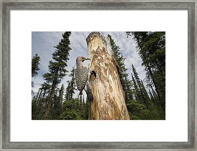 Northern Flicker At Nest Cavity Framed Print by Michael Quinton