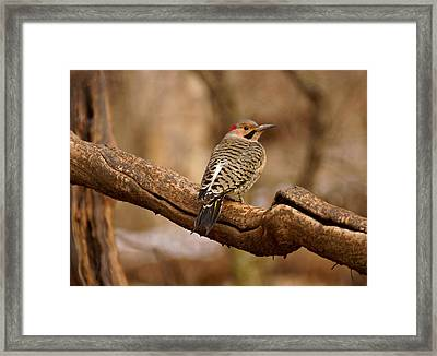Northern Flicker II Framed Print by Sandy Keeton