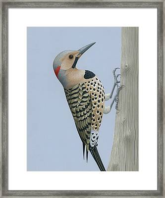 Northern Flicker Framed Print by Nathan Marcy