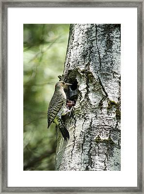 Northern Flicker Nest Framed Print by Christina Rollo