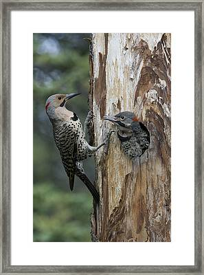Northern Flicker Parent At Nest Cavity Framed Print by Michael Quinton