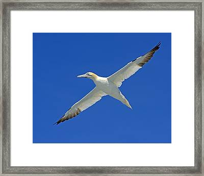 Northern Gannet Framed Print by Tony Beck