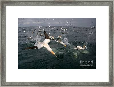 Northern Gannets Fishing Framed Print by Thomas Hanahoe