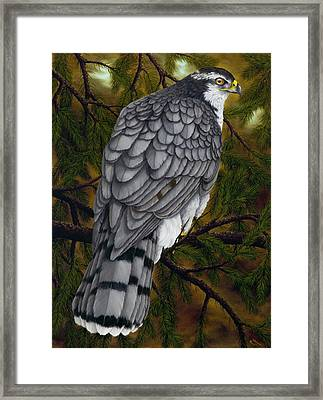 Northern Goshawk Framed Print by Rick Bainbridge