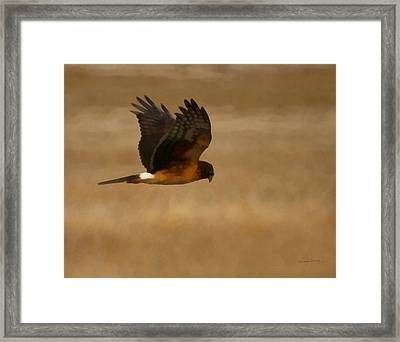 Northern Harrier Painterly Framed Print by Ernie Echols