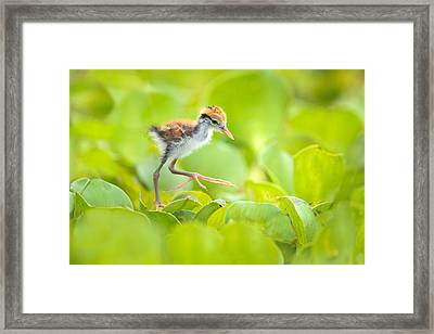 Northern Jacana Jacana Spinosa Chick Framed Print by Panoramic Images