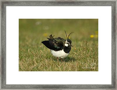 Northern Lapwing Framed Print by Helmut Pieper