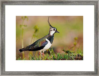 Northern Lapwing Framed Print by Willi Rolfes