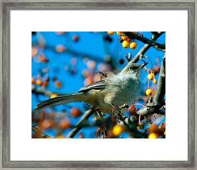 Northern Mockingbird Framed Print by Bob Orsillo
