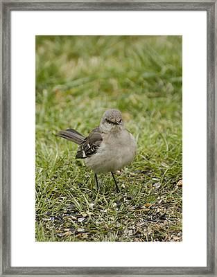 Northern Mockingbird Framed Print by Heather Applegate