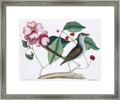Northern Mockingbird Framed Print by Natural History Museum, London