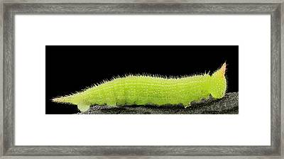 Northern Pearly-eye Caterpillar Framed Print by Us Geological Survey
