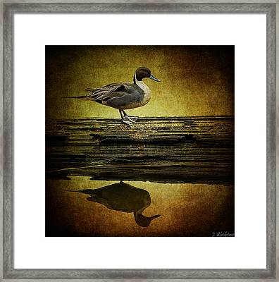 Northern Pintail Duck Framed Print by Jordan Blackstone
