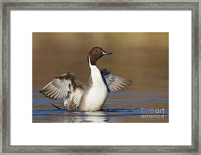 Northern Pintail Wing Flap Framed Print by Bryan Keil