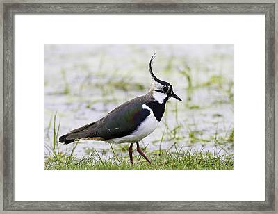 Northern Plover Green Lapwing Or Peewit Framed Print by Mr Bennett Kent