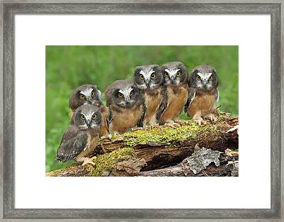 Northern Saw-whet Owl Chicks Framed Print by Nick Saunders