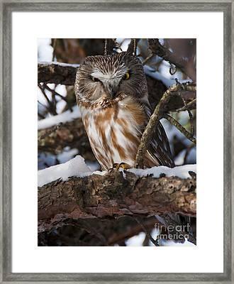 Northern Saw-whet Owl.. Framed Print by Nina Stavlund