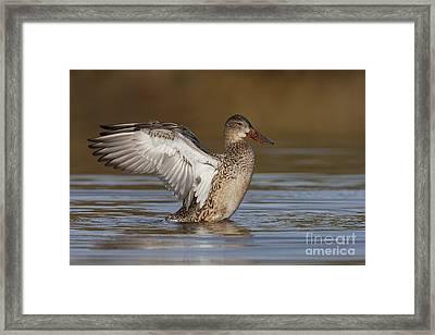 Northern Shoveler Hen Wing Flap Framed Print by Bryan Keil