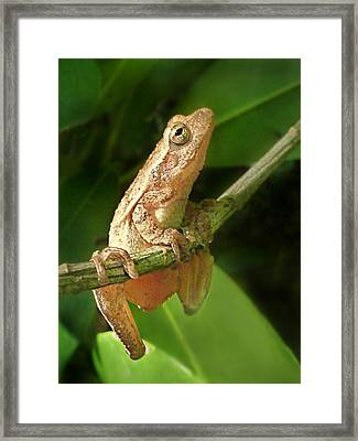 Northern Spring Peeper Framed Print by William Tanneberger