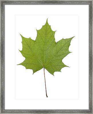 Norway Maple (acer Platanoides) Leaf Framed Print by Science Photo Library