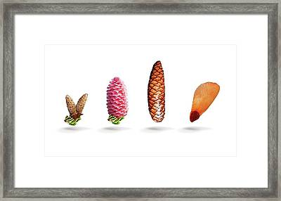 Norway Spruce Flowers Framed Print by Mikkel Juul Jensen