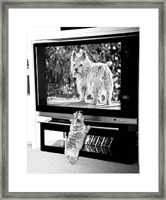 Norwich Terrier Bigger Than Life Framed Print by Susan Stone
