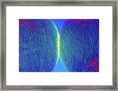 Nostoc Cyanobacteria Framed Print by Marek Mis