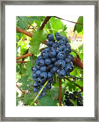 November Grapes Framed Print by Barbara McDevitt